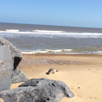Seal at Horsey Beach
